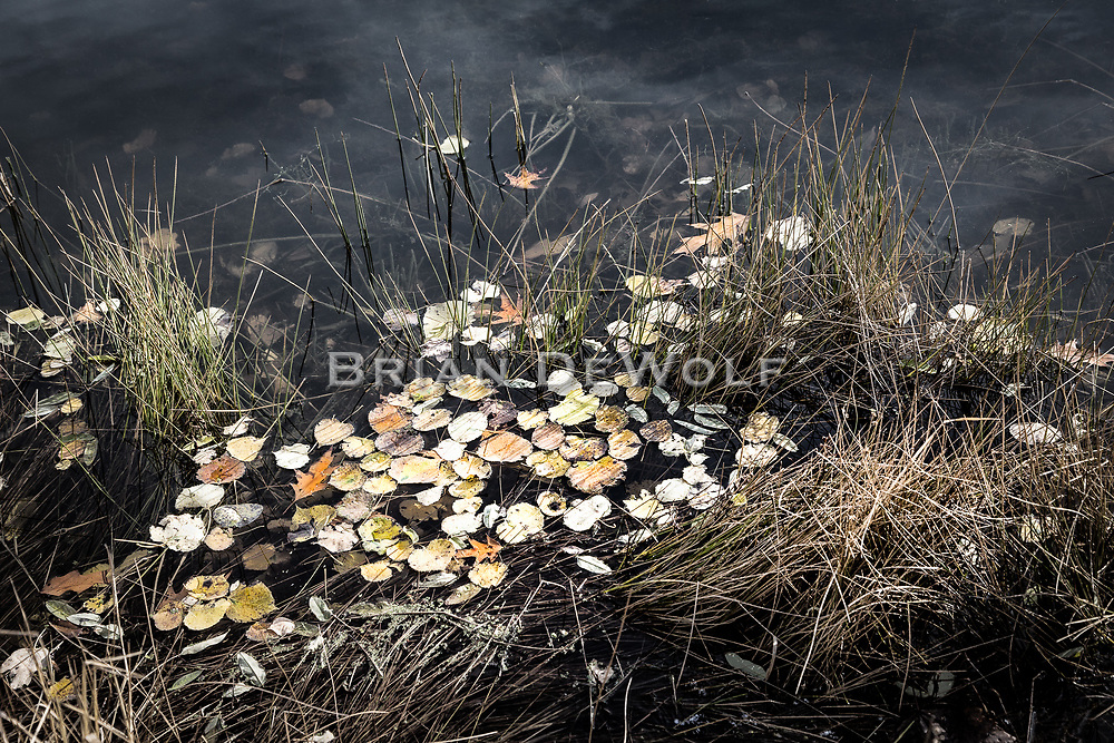 Leaves of Autumn have harbored in shoreline grass on a pond.  At the time this image was captured, the air was calm, the afternoon sun low on the November horizon, and the temperature comfortable.  The day was a welcome pause in nature's annual journey into winter.