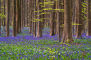 Europe, European, Belgium, Halle, Hallerbos Forest, Blue bell bloom