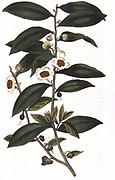 Tea: Camellia sinensis. Sprig of tea bush. Hand-coloured engraving 1823.