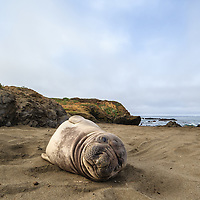 A northern elephant seal pup looks around as it rest on the beach.
