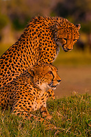Two cheetahs on a mound, near Kwara Camp, Okavango Delta, Botswana.