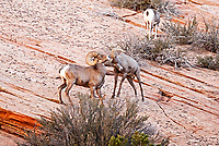 Two Desert Bighorn Sheep rams spar along a rock face in Zion National Park in southern Utah mating season is getting started.