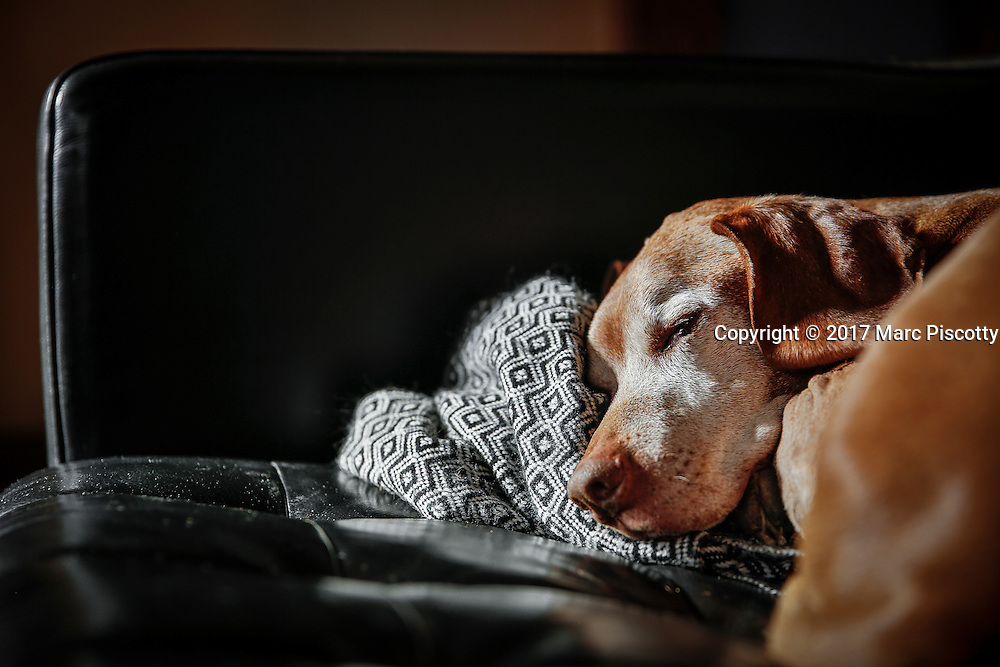 SHOT 1/31/17 2:27:49 PM - Tanner, a 12 year-old male Vizsla, napping on the sofa at his home in Denver, Co. The Vizsla, is a dog breed originating in Hungary. The Hungarian or Magyar Vizsla represents one of the best in sporting dogs and loyal companions and has a strong claim to being one of the smallest of the all-round pointer-retriever breeds. The Vizsla's size is one of the breed's most attractive characteristics and through the centuries he has held a unique position for a sporting dog -- that of household companion and family dog. The Vizsla is a natural hunter endowed with a good nose and an above average trainability. Although they are lively, gentle mannered, demonstrably affectionate and sensitive, they are also fearless and possessed of a well-developed protective instinct.<br /> (Photo by Marc Piscotty / &copy; 2017)