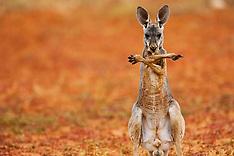 Giant Red Kangaroos