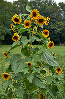Sunflower plant at Arthur Morgan School near Burnsville, North Carolina. Image taken with a Leica T camera and 35 mm f/1.4 lens.