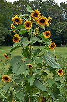 Sunflower plant at Arthur Morgan School near Burnsville, North Carolina. Image taken with a Leica T camera and 35 mm f/1.4 lens.