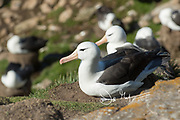 A Black-browed albatross sits on its nest in a large colony of birds on Saunders Island in the Falklands.