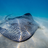 Honeycomb stingray -  Himantura uarnak
