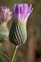 Texas Thistle, Cirsium texanum, Austin County, TX