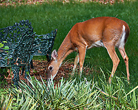Doe eating grass. Backyard spring nature in New Jersey. Image taken with a Fuji X-T2 camera and 100-400 mm OIS lens (ISO 200, 301 mm, f/6.4, 1/60 sec).