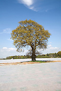 Oak tree with fleece sheets on field