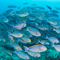 School of Yellowmask Surgeonfish, Acanthurus mata, Komodo Island, Indonesia.