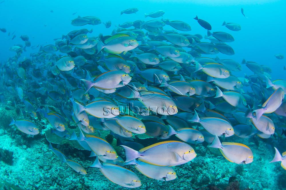 School of Yellowmask Surgeonfish, Acanthurus mata, Komodo Island, Indonesia.