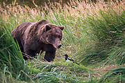 An inquisitive brown bear investigates a Magpie in Katmai National Park, Alaska.