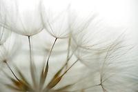 Seeds of Meadow Salsify (Tragopogon pratensis), Denmark