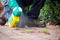 Spraying weeds between cracks on a brick path