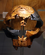 Hominid with a small body size.  Small-brained.  Homo antecessor, Atapuerca skull, about 800,000 years ago.  Cast of part fossil adolescent male skull found at Gran Dolina cave, Sierre de Atapuerca, Spain in 1994-5.  This species lived in Europe about 1.2 million to 800,000 years ago.