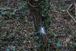 Denham, UK. 4 February, 2020. A tree marked with white paint by HS2 engineers in an area of Denham Country Park designated for works for the HS2 high-speed rail link. Planned works in the immediate area are believed to include the felling of 200 trees and the construction of a roadway, Bailey bridge, compounds, fencing and a parking area. The area includes a wetland nature reserve forming part of a Site of Metropolitan Importance for Nature Conservation (SMI). Credit: Mark Kerrison/Alamy Live News