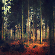 Fir Forest - texturized photograph<br /> <br /> Prints: http://society6.com/DirkWuestenhagenImagery/Lines-In-Nature-Forest-of-Firs_Print