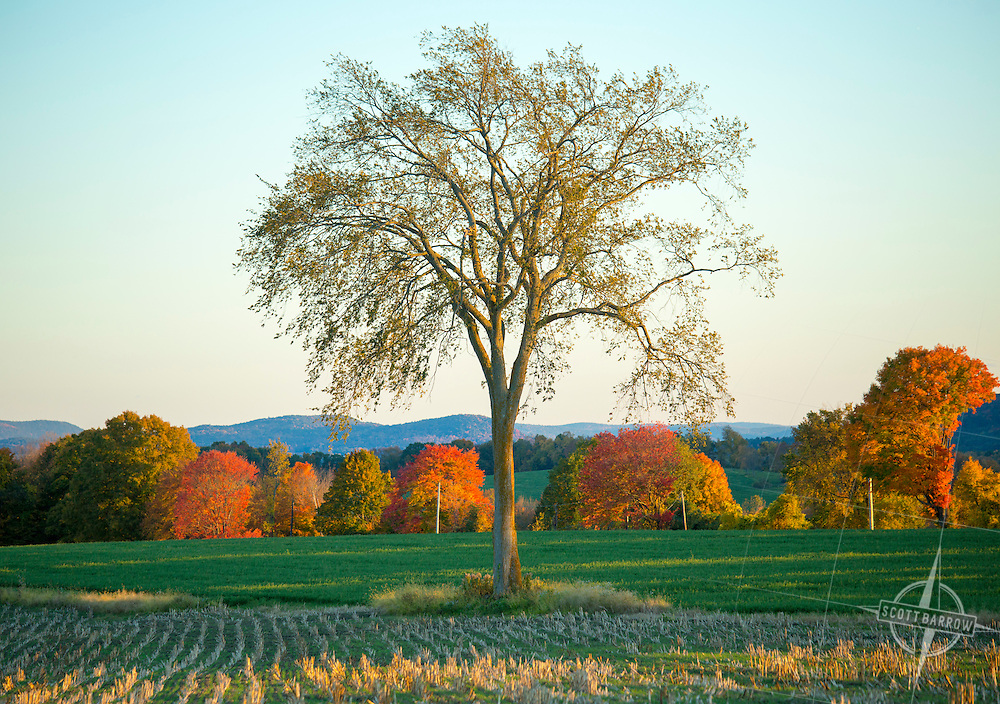 The Baldwin Hill Elm in Egremont, MA