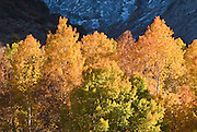 Golden fall aspens along Rush Creek, Inyo National Forest, Sierra Nevada Mountains, California