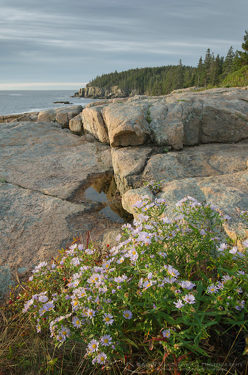 Wildflowers growing on Otter Cliffs Acadia National Park