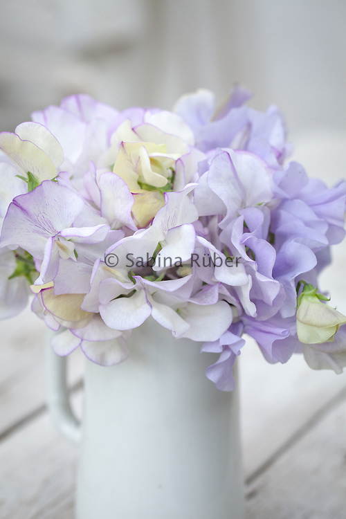 Lathyrus odoratus 'Romeo' and 'Bristol' - sweet pea arrangement in small white jug