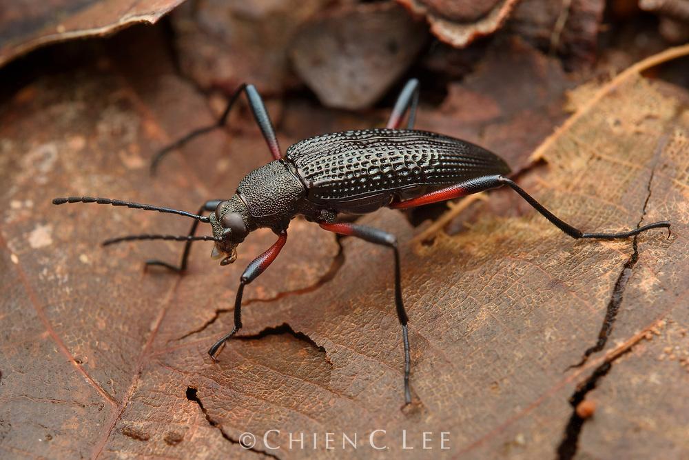 Darkling beetle (Strongylium sp.). Sarawak, Malaysia.