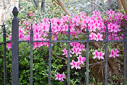 Azeleas bloom in Summerville, South Carolina