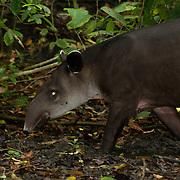 A Baird's tapir (Tapirus bairdii), Corcovado National Park, Costa Rica.