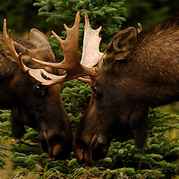Two bull moose sparing Anchorage Alaska.