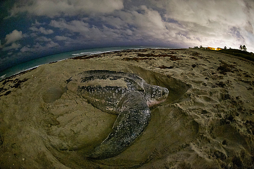 A female Leatherback Sea Turtle, Dermochelys coriacea, nests in Juno Beach, Florida, United States. Image available as a premium quality aluminum print ready to hang.
