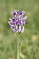 Monkey Orchid - Orchid simia
