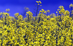 Oilseed rape field in Newport, Essex, May 18, 2000. Photo by Andrew Parsons / i-images..