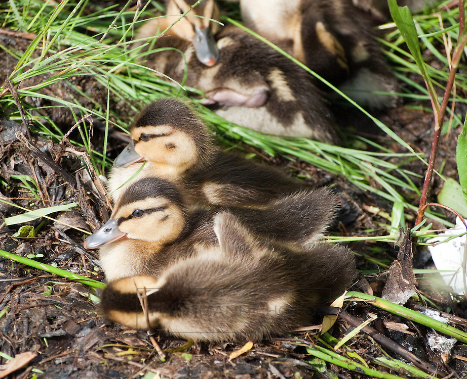 A melange of ducklings restlessly occupy a small bit of shoreline near Lake Nokomis in the Twin Cities