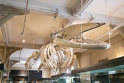 View of skeleton of whale inside the McManus art gallery and museum in Dundee, Tayside, Scotland, UK