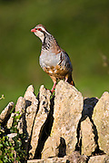 Red-legged partridge also known as French partridge on  dry stone wall in The Cotswolds, Oxfordshire, England, UK