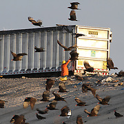 Turkey buzzards, Cathartes aura, feed at the Solid Waste Authority's refuse dumps in West Palm Beach, Florida. <br /> Photography by Jose More