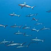 A squadron of grey reef sharks (Carcharhinus amblyrhynchos) swimming in formation. A healthy population of sharks like this is a relatively rare sight these days, given intensive hunting of sharks for the shark fin trade.
