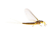 Riverbed Burrower Mayfly (Pentagenia vittigera)<br /> TEXAS: Jasper Co.<br /> Brookeland/Lake Sam Rayburn KOA @ 505 Co Rd 212<br /> 31.141606, -93.994174<br /> 21.May.2015<br /> J.C. Abbott #2733 &amp; K.K. Abbott