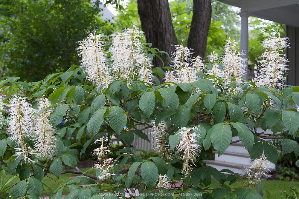 Bottlebrush Buckeye (Aesculus parviflora)