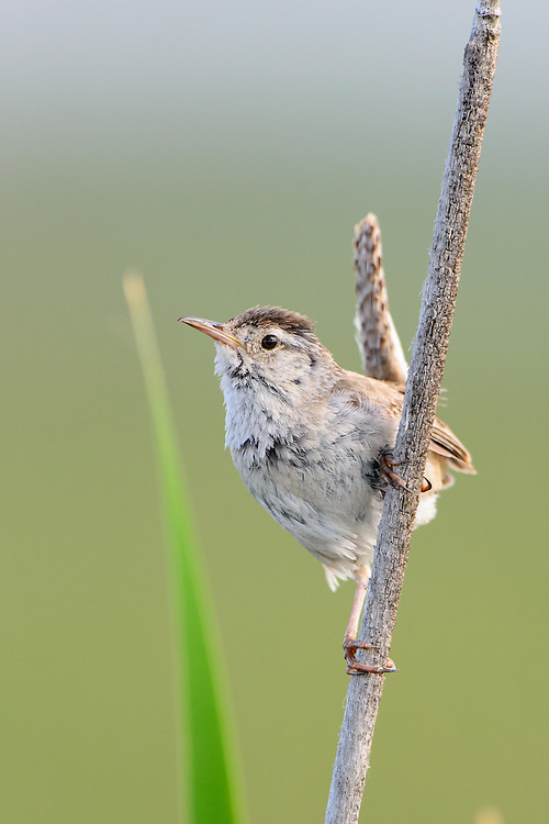Marsh Wren (Cistothorus palustris), Montana