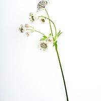 Single white flower on white background