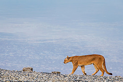 A puma (Puma con color) also known as a mountain lion or cougar,  moving over lakeside stromolite rock, Torres del Paine, Chile, South America