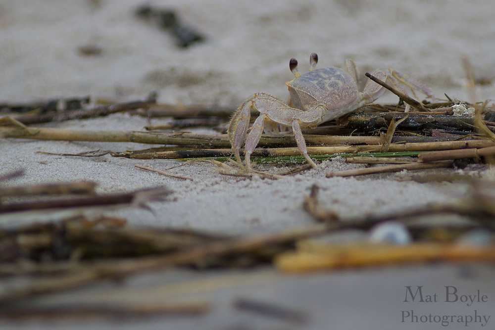 A crab on the beach in Corson's Inlet in Ocean City, NJ on August 20, 2012. (photo / Mat Boyle)
