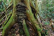 Tree termite nest (Procubitermes sp.)<br /> Republic of Congo (Congo - Brazzaville)<br /> AFRICAtrt