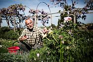 Italy, La Foce - Ferruccio Carrara, 52, gardner of La Foce gardens takes care of a plant of roses.<br /> Ph. Roberto Salomone