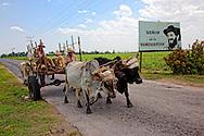 Bullocks near Media Luna, Granma Province, Cuba.