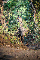 Elephant emerges from the jungle with his keepers laden with tree branches in Bardia National Park, Nepal.