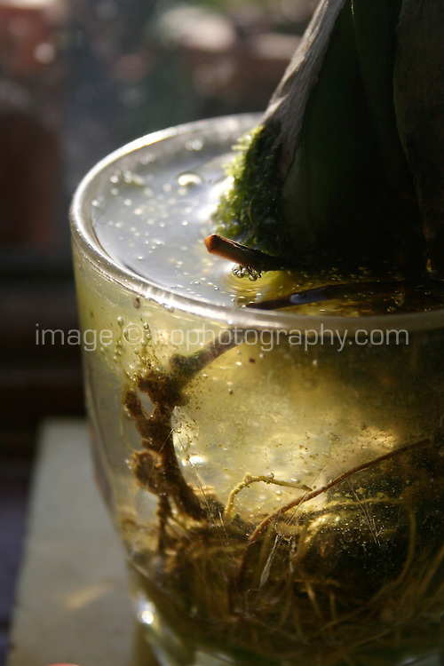 Avocado stone plant growing in a glass of water on kitchen window sill
